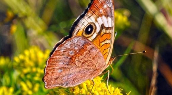 Butterfly in Inle